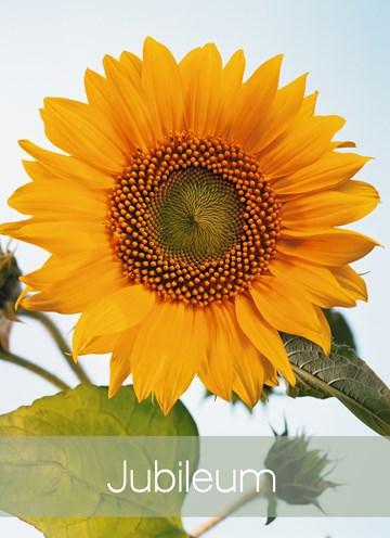 - jubileumskaart-met-een-zonnebloem